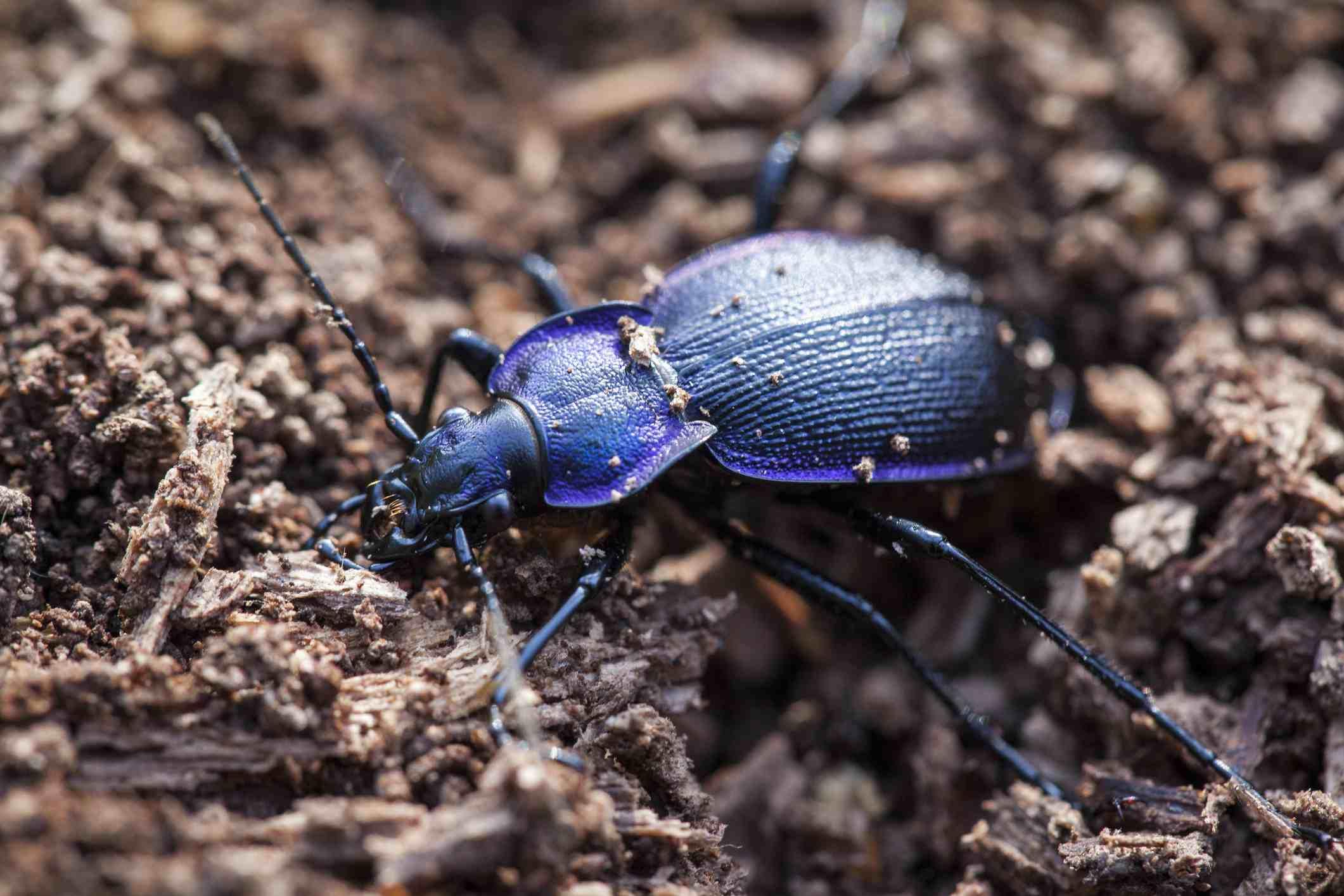 Ground beetle.