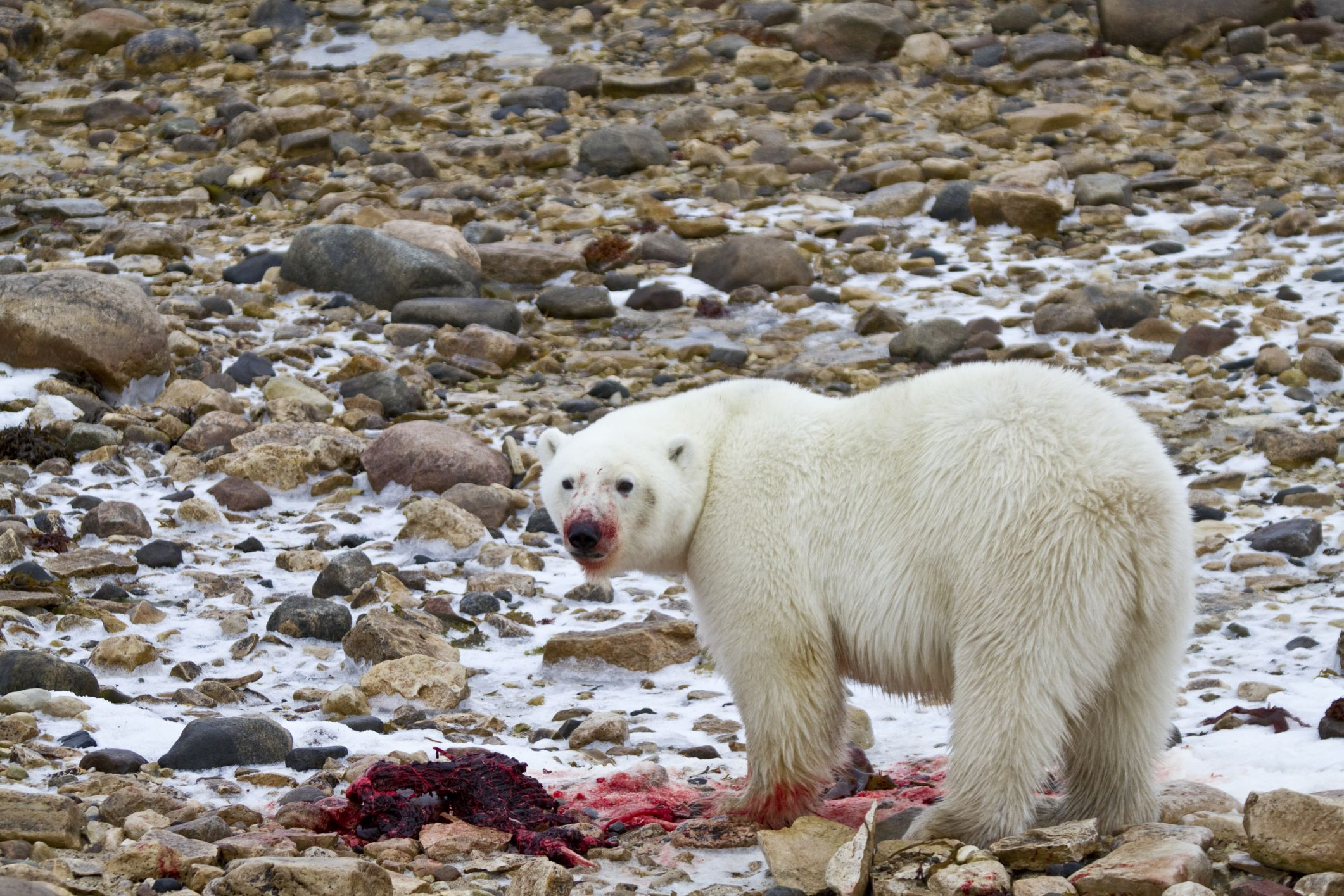The Typical Diet of a Polar Bear