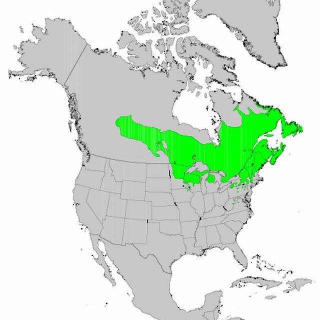 Balsam Fir distribution map