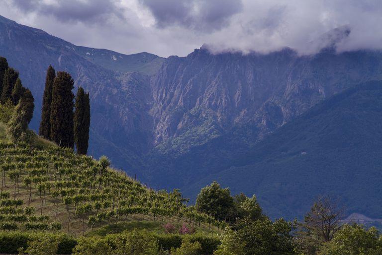 Vineyard in the Dolomites