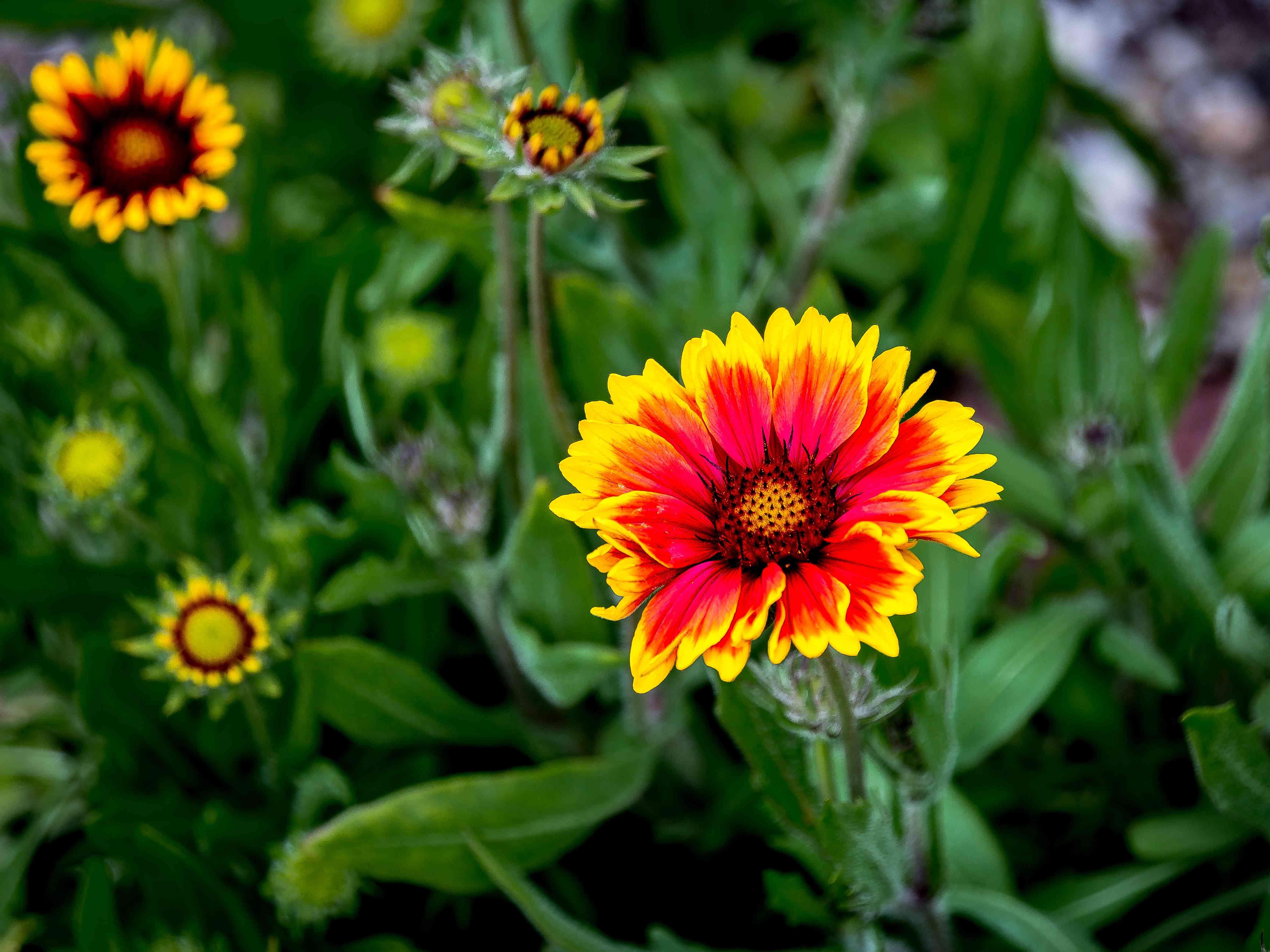 Close-Up Of Gaillardia Blooming Outdoors