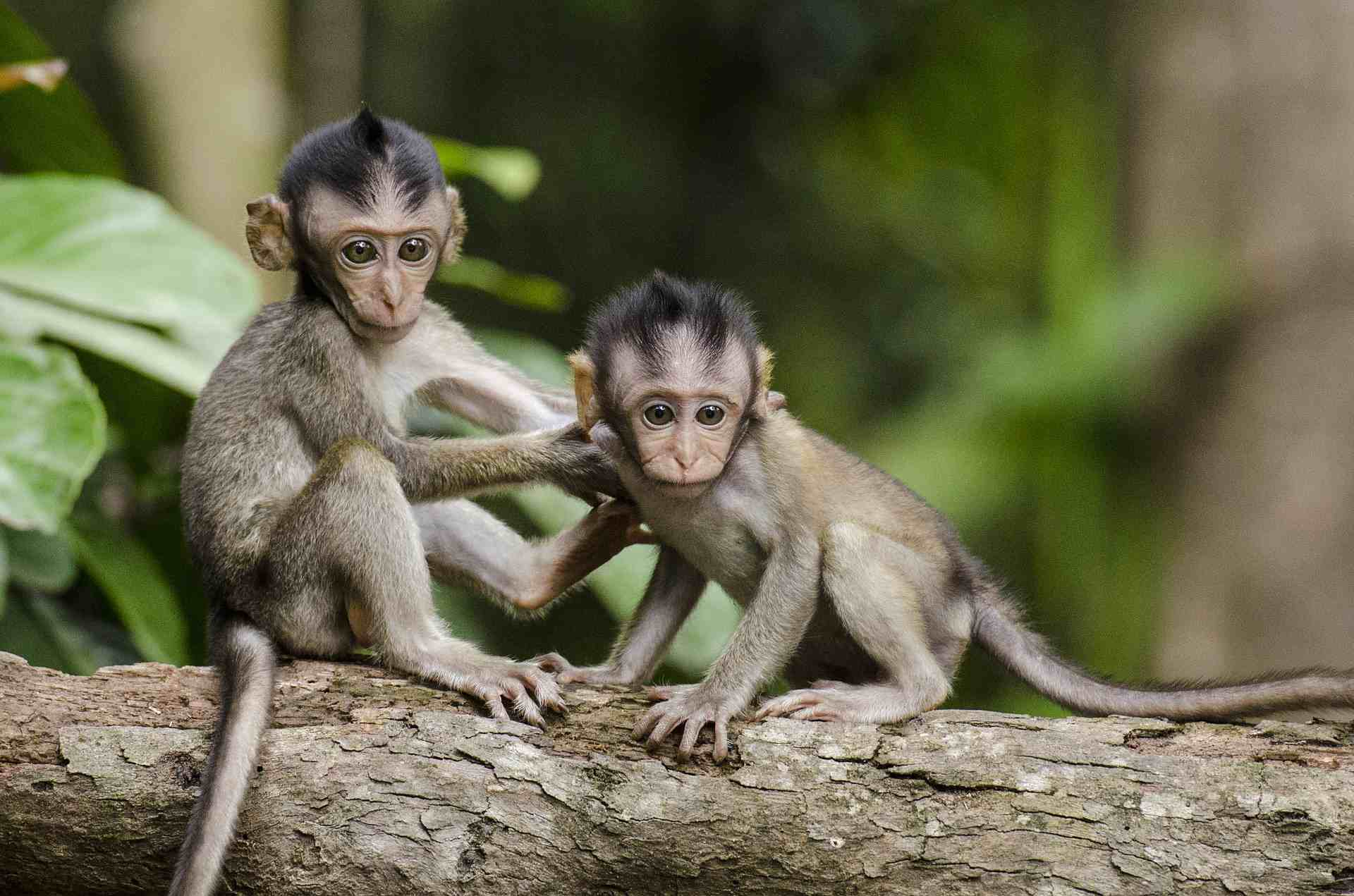 Two young monkeys playing on a branch.