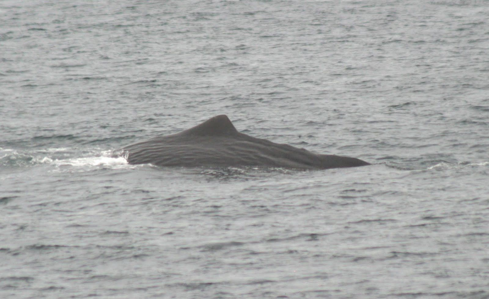 Sperm Whale Image / Blue Ocean Society for Marine Conservation