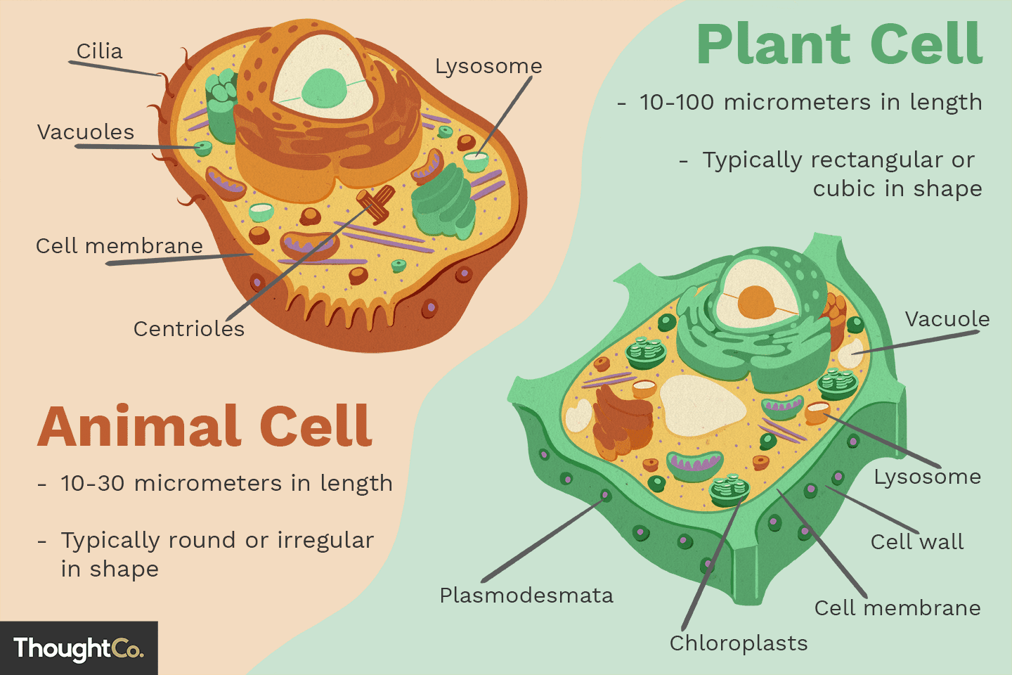 Differences Between Plant And Animal Cells Mitochondria Are Often Called The Power Of Cell