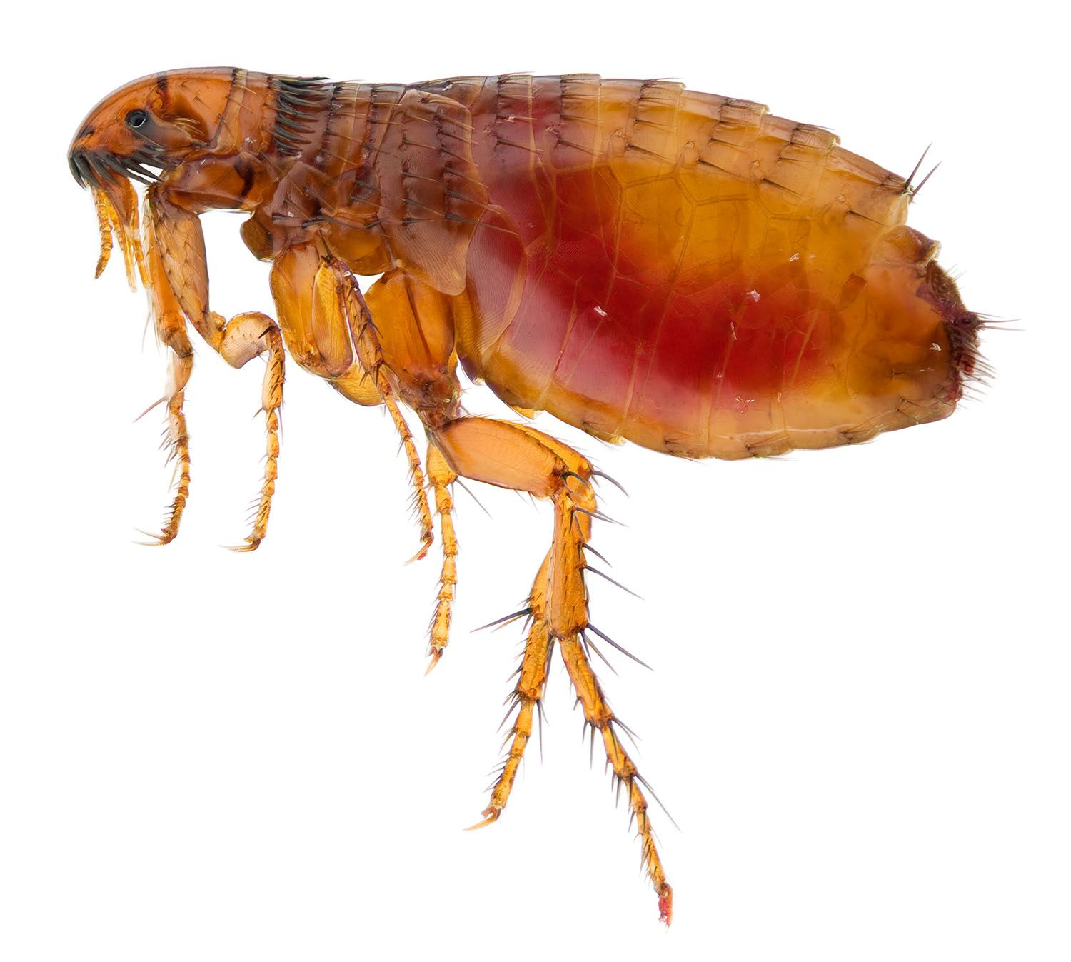 Can Fleas Live on Humans? Can I Get Fleas From My Pet?