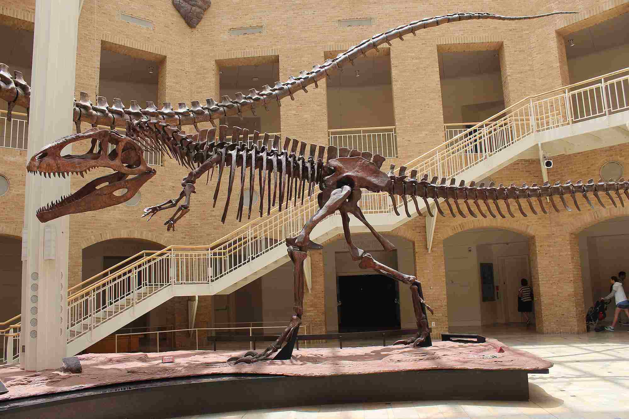 Giganotosaurus skeleton at a museum