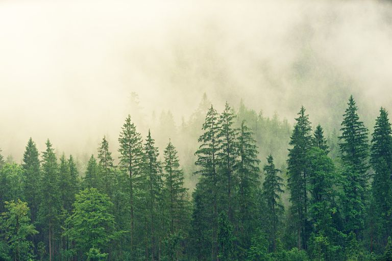 Grove of spruce trees in the early morning fog.