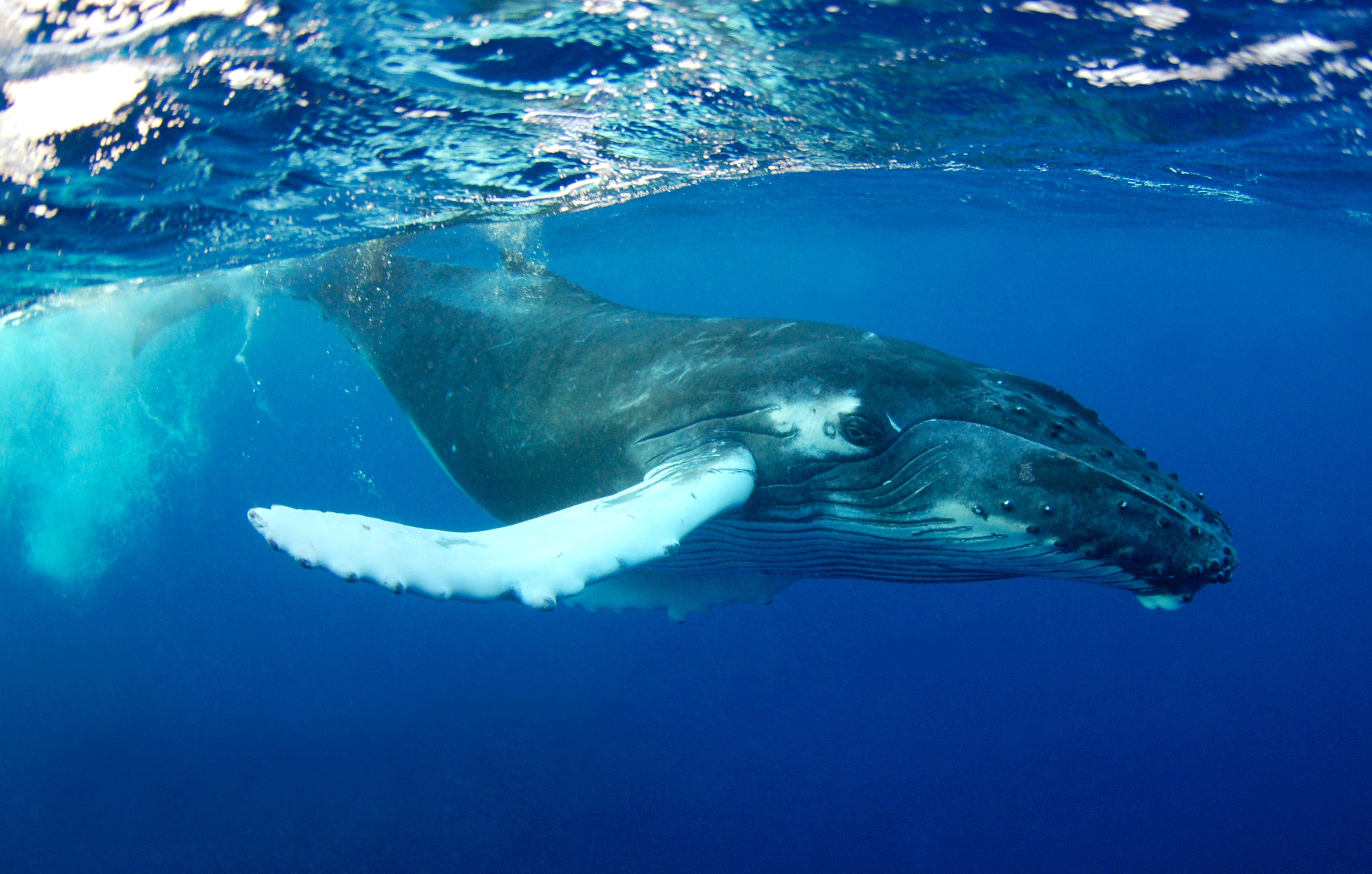 scădere în greutate a balenelor cu cocoașă Pierdere în greutate de 47 de ani