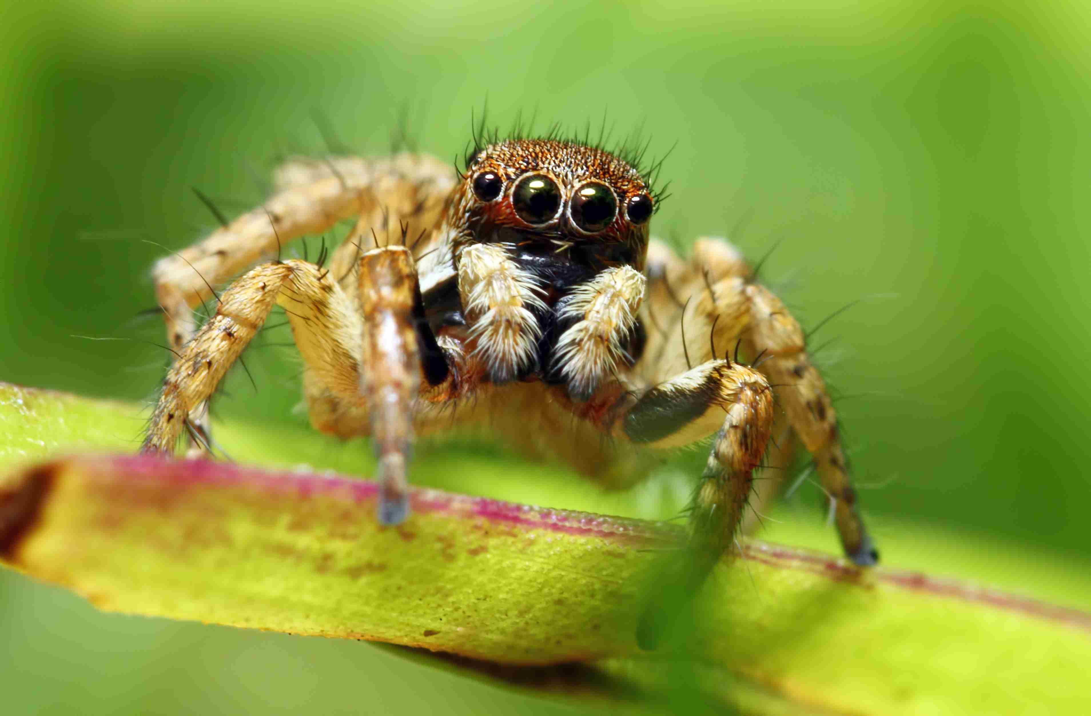 Araña saltadora.