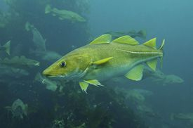 Atlantic Cod, Cod fish (Gadus morhua)