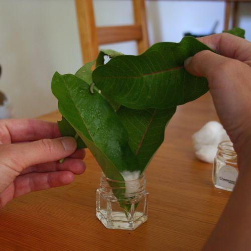 Leaf preparation for caterpillar habitat