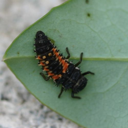 Jet black lady beetle larvae with six legs and spiny looking body with bright orange markings