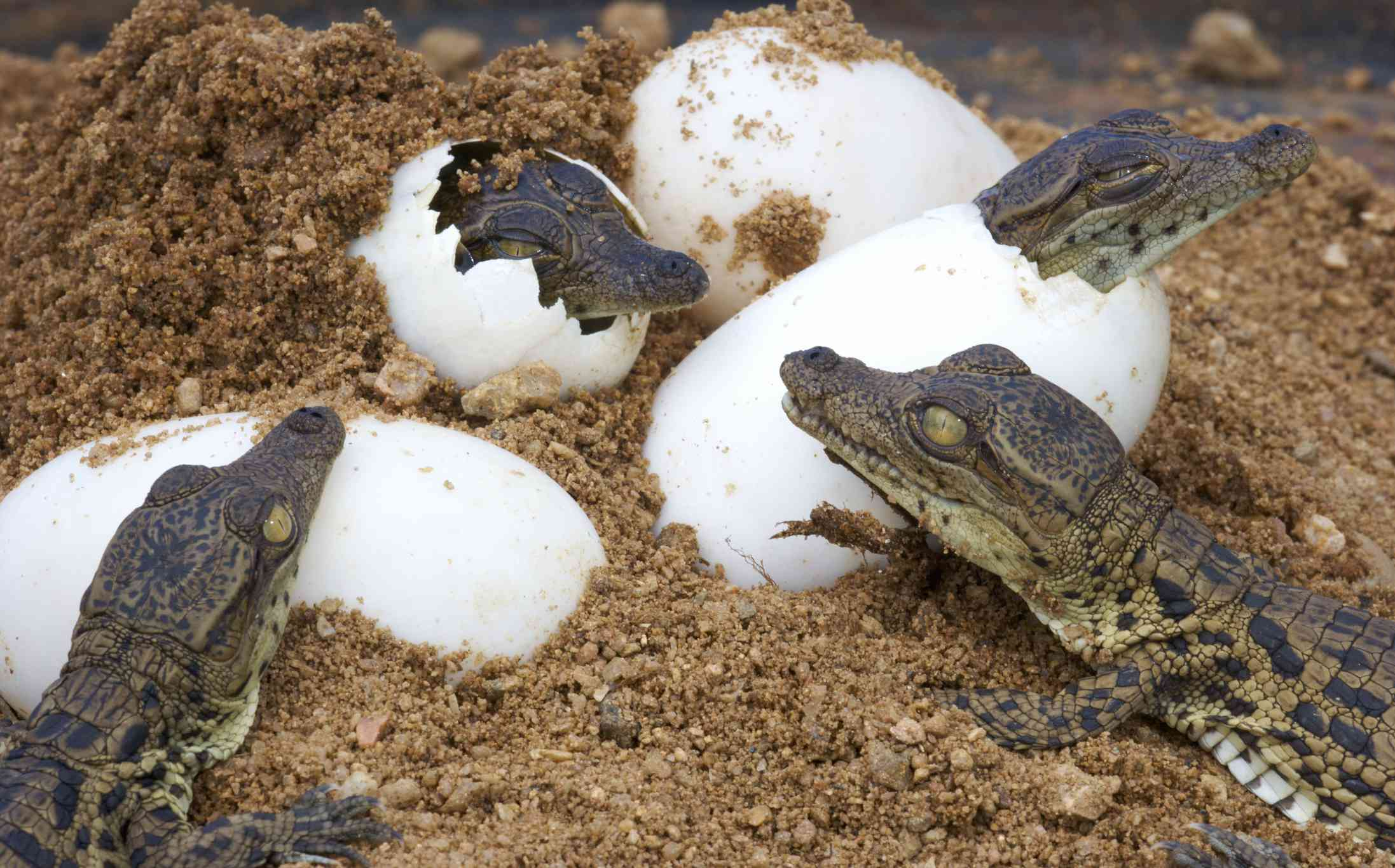 Baby Nile crocodiles hatching from eggs