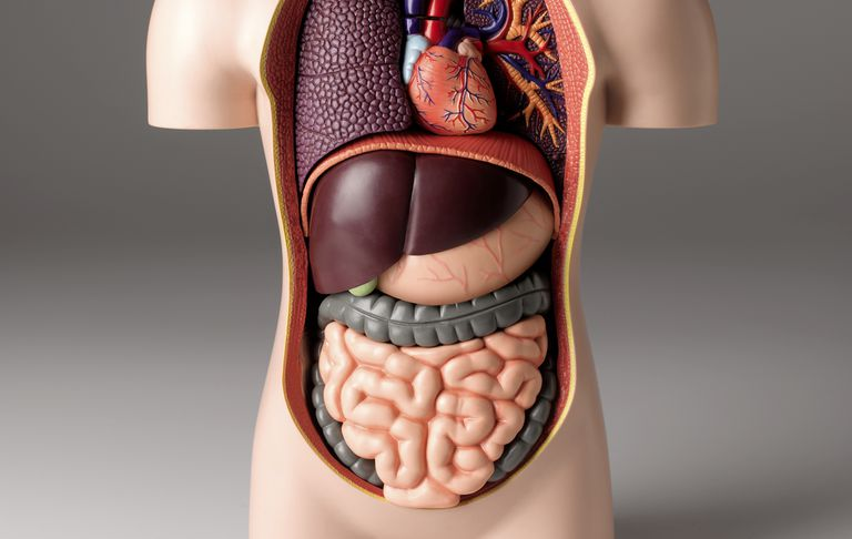 Model of the human body