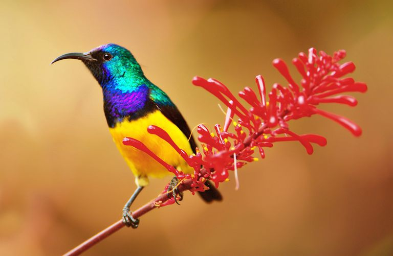 Sunbird Facts