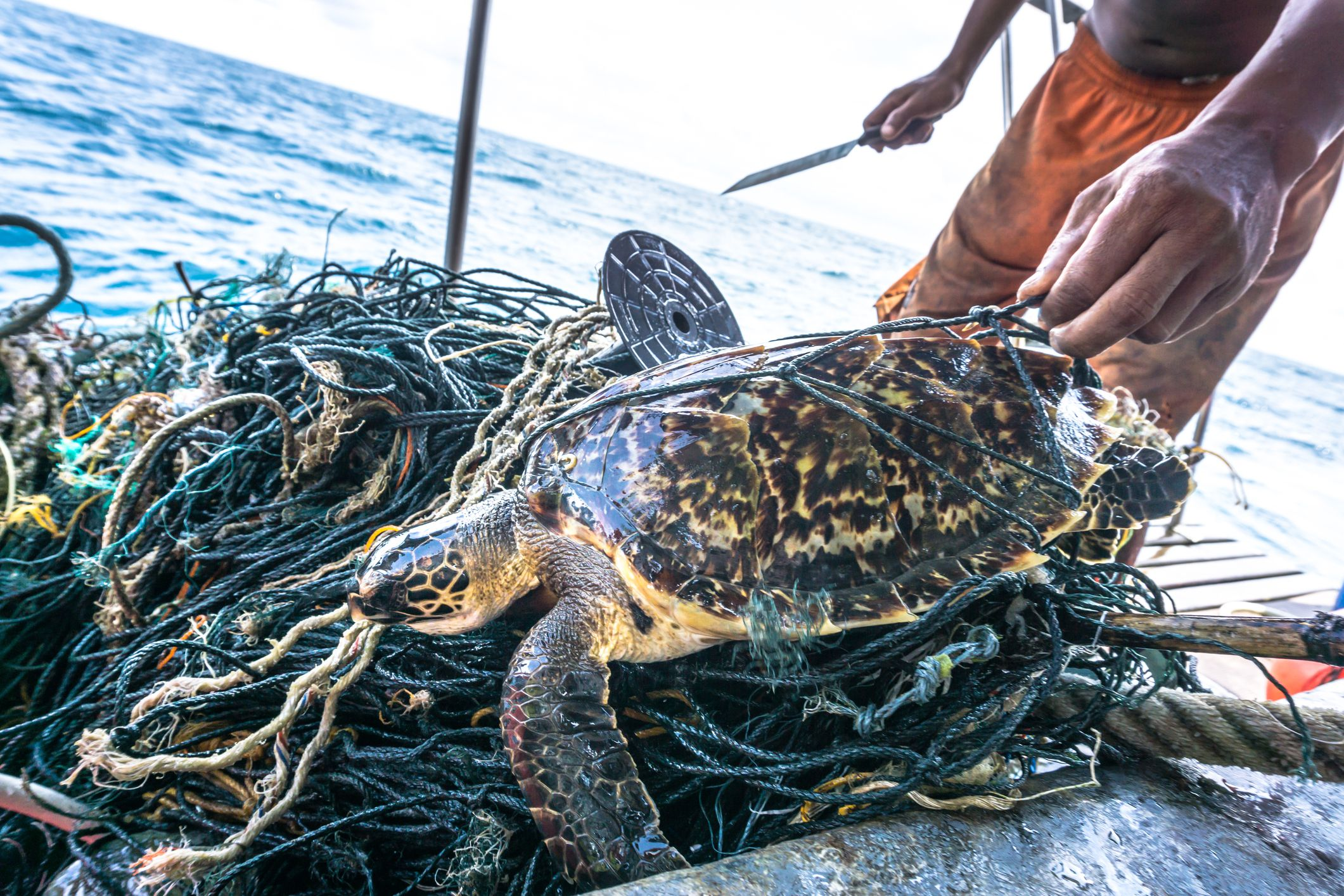 Man with knife rescuing Critically Endangered Hawksbill Sea Turtle tangled Ghost Net