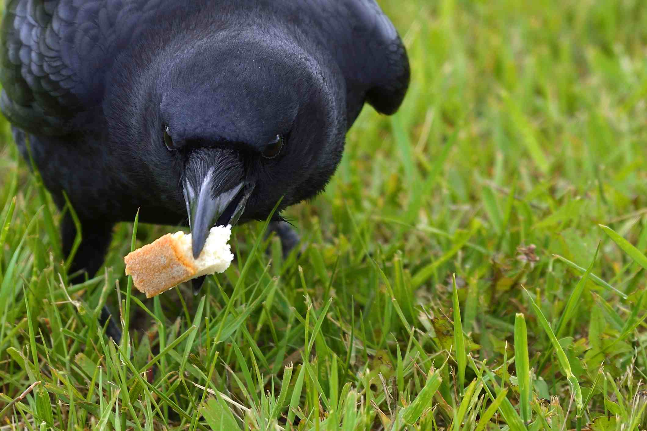 crow holding bread in its mouth