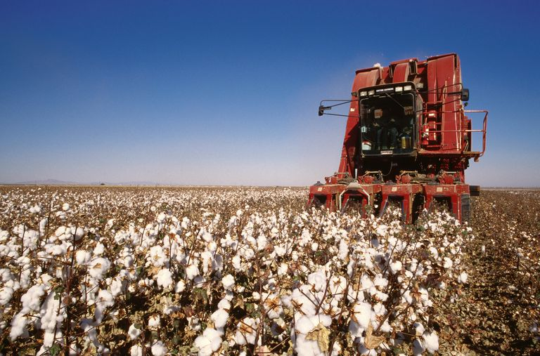 Cotton Harvest by cotton picker machine