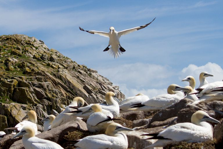 A flock of northern fulmar (Fulmarus glacialis), which drinks seawater and excretes salt through its nasal gland