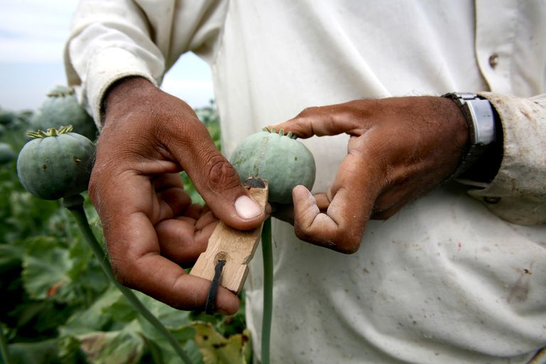 Close-up of farmer's hands harvesting poppy