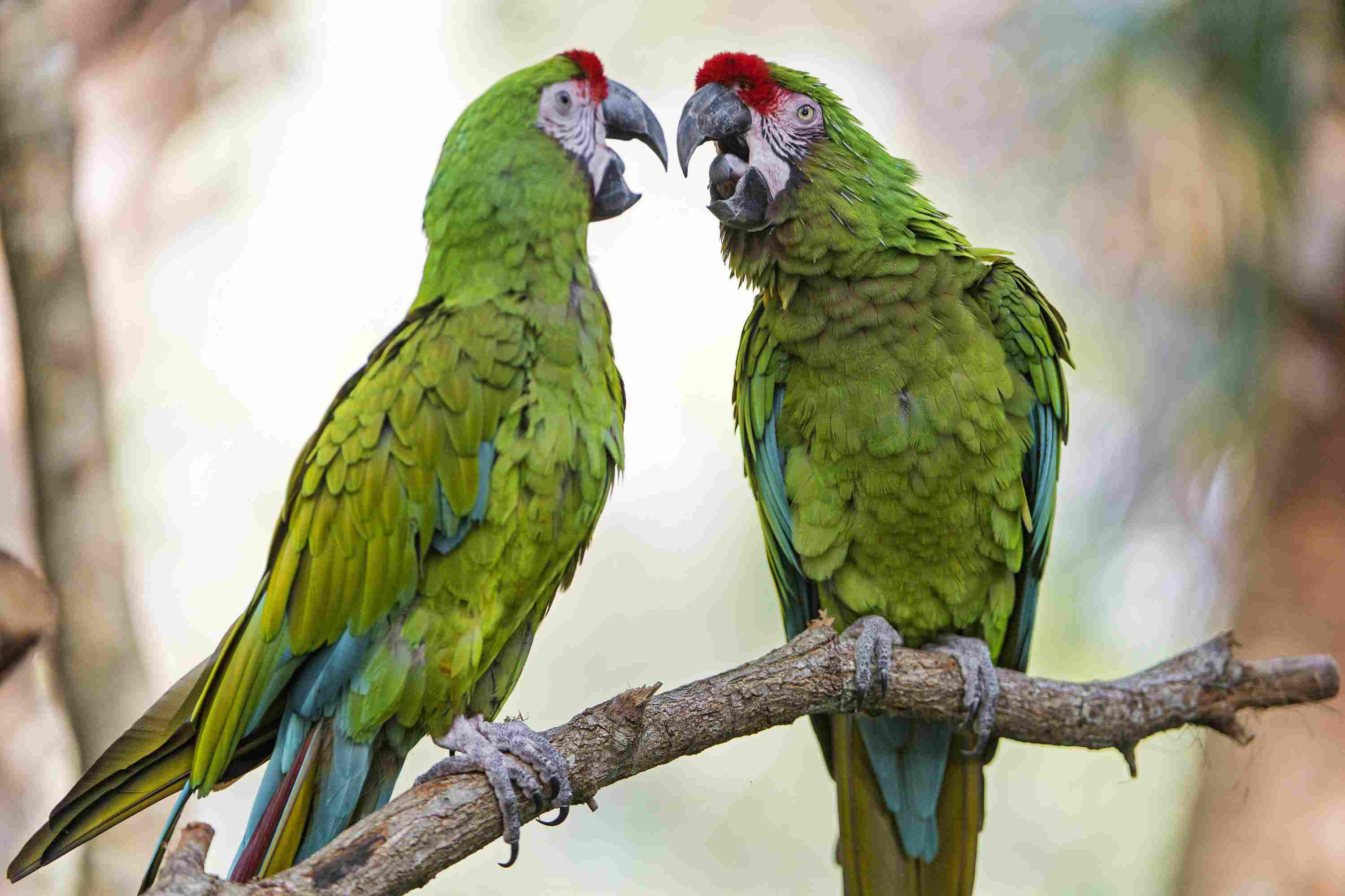 Two parrots sitting on a branch