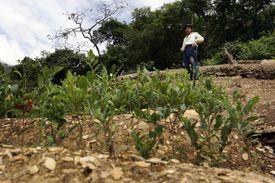 Coca Field near Corioco Bolivia