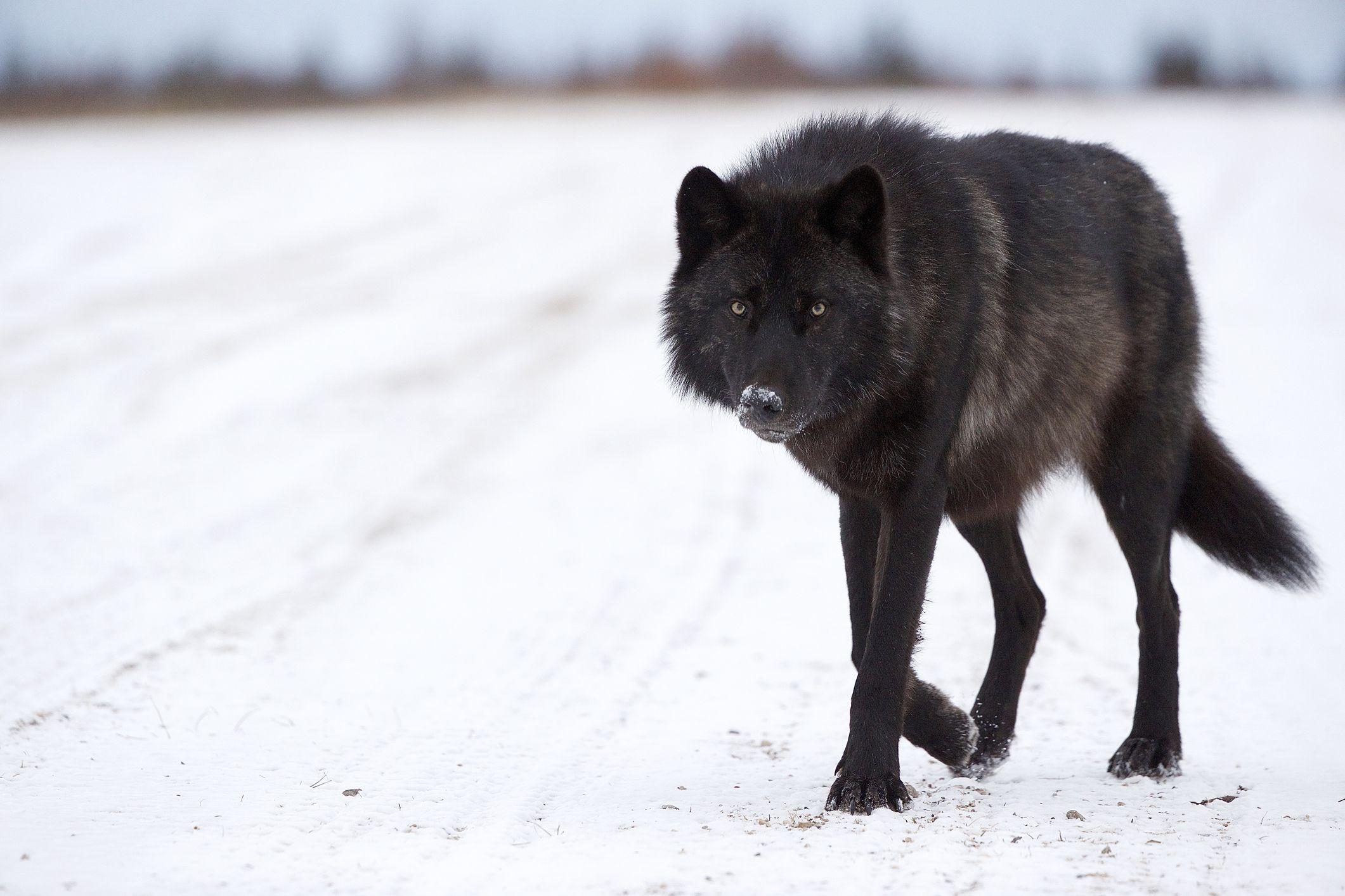 канадский волк фото омский институт