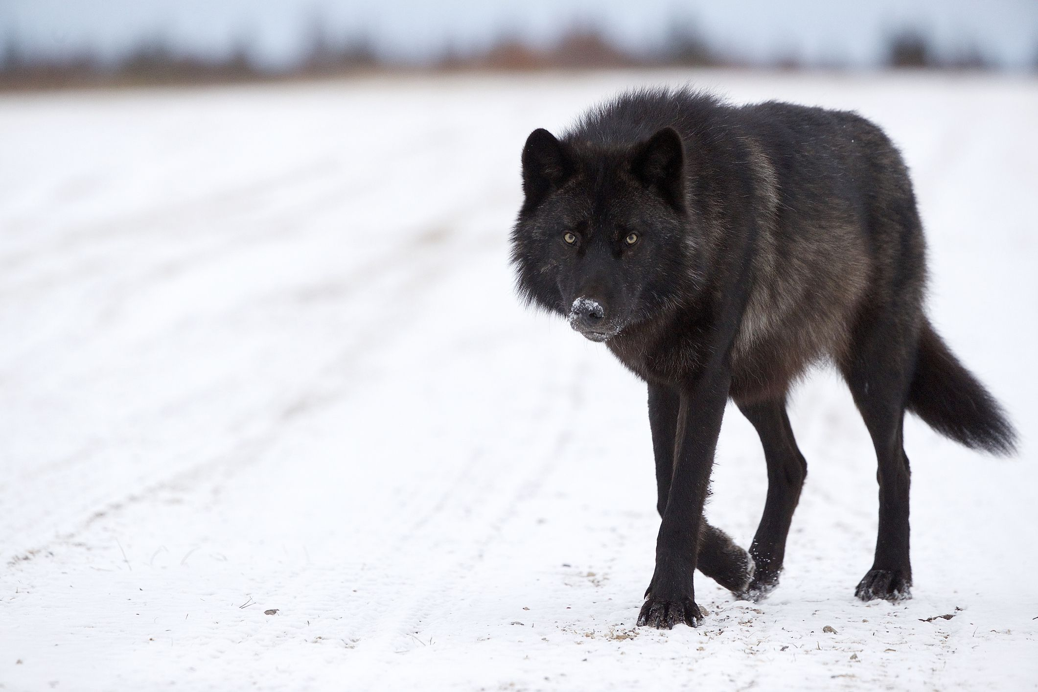 The Mystery of North America's Black Wolves