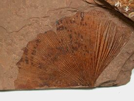 Ginkgo Fossil - British Columbia, Canada