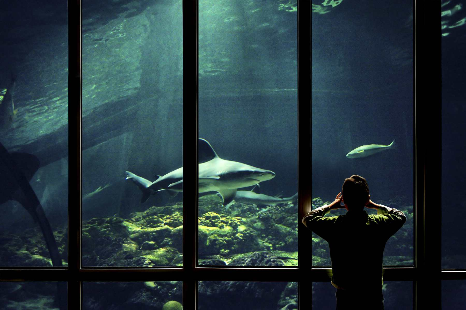 Blue sharks swim into glass and other smooth surfaces, injuring themselves.