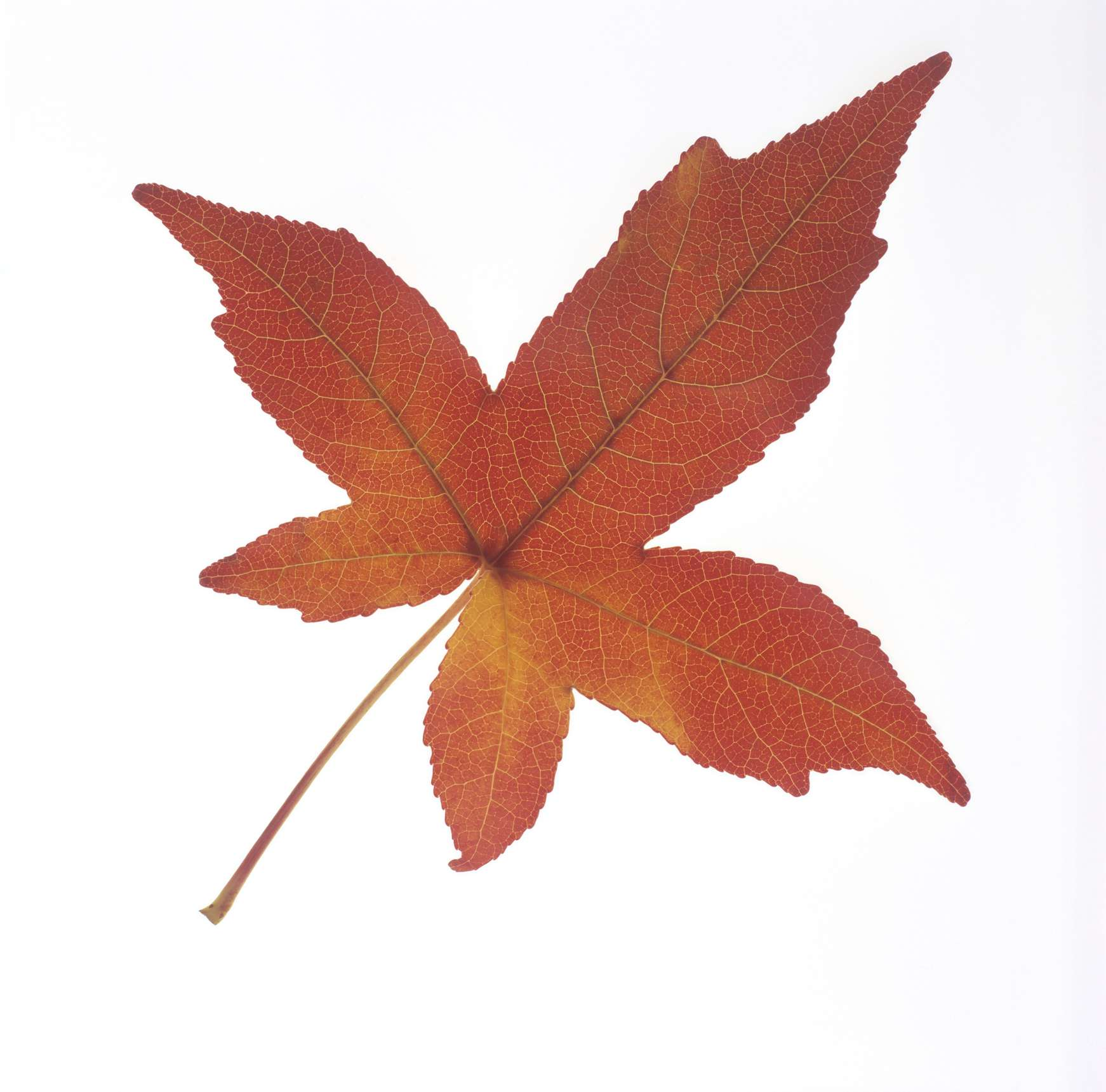 ID Maple, Sycamore, Yellow-Poplar and Sweetgum Leaves