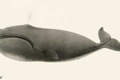 North Pacific Right Whale (Eubalaena japonica)