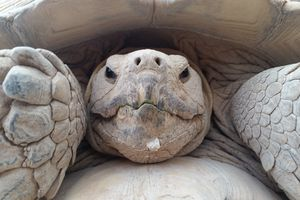 Close-Up Of Giant Tortoise