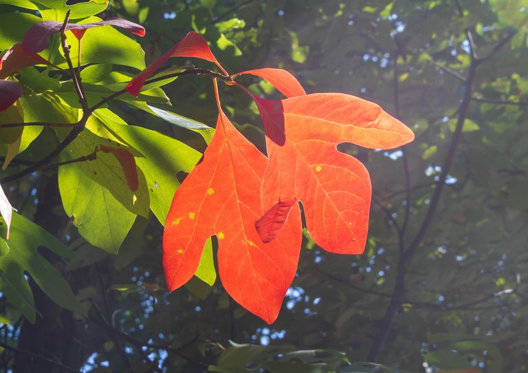 Two leaves of a sassafras tree have turned red in early fall