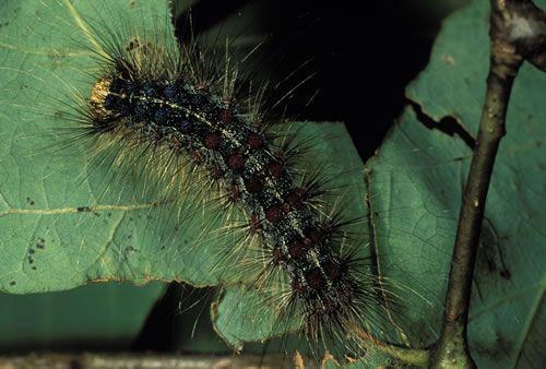 Lymantria dispar Gypsy Moth larva (Lymantria dispar)