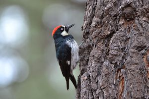 Woodpecker perched on a tree with beak poised to peck.