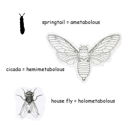 The Types and Stages of Insect Metamorphosis