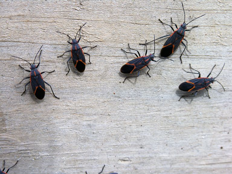 Box elder bugs on wooden surface