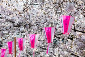 Cherry Blossoms and Lantern, Naka Meguro, Tokyo