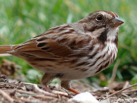 A Song Sparrow (Melospiza melodia) feeding on the ground.