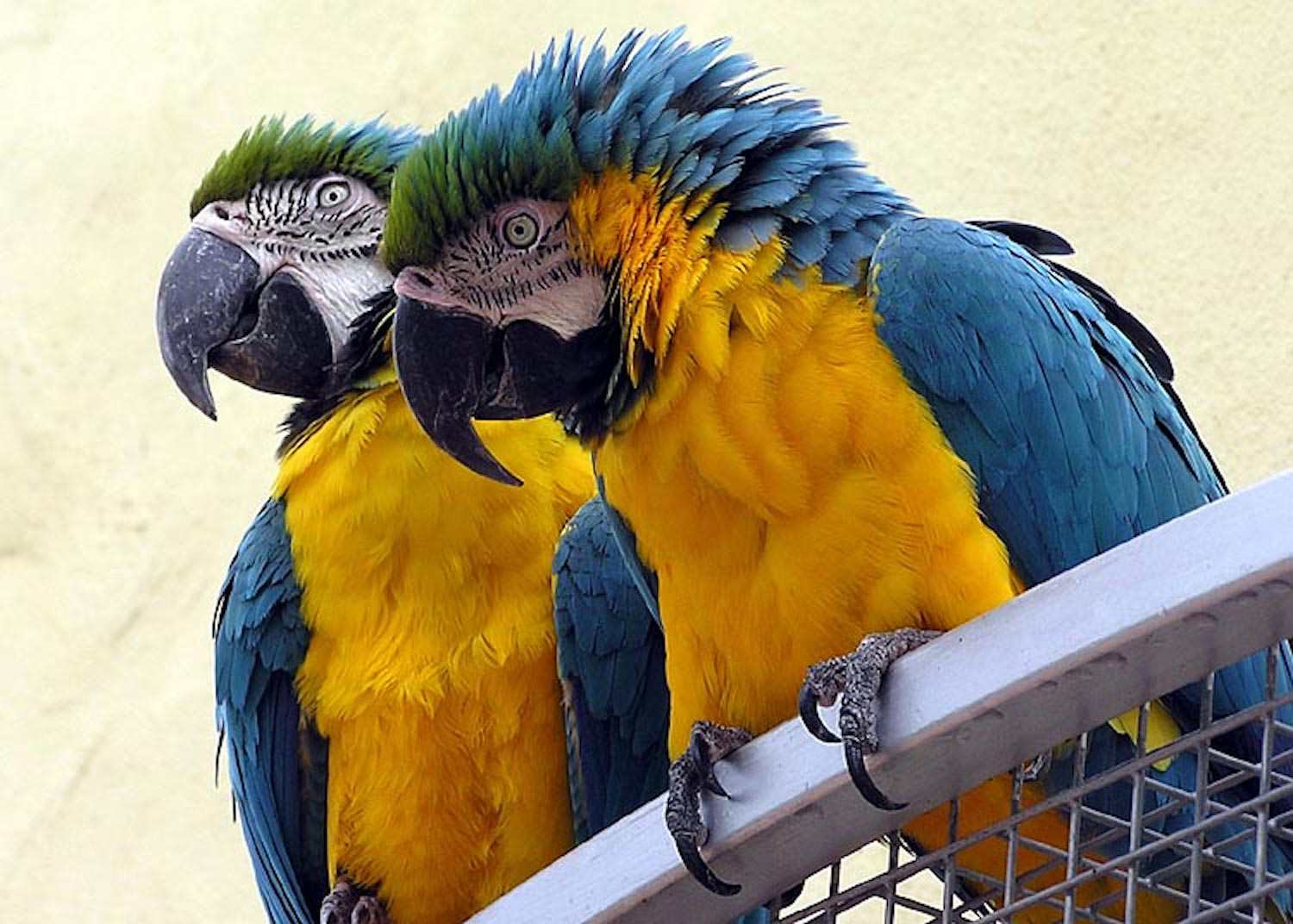 Macaw blue parrot