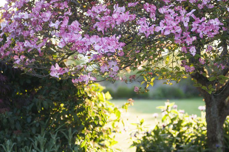 Pink Flowering Dogwood Tree
