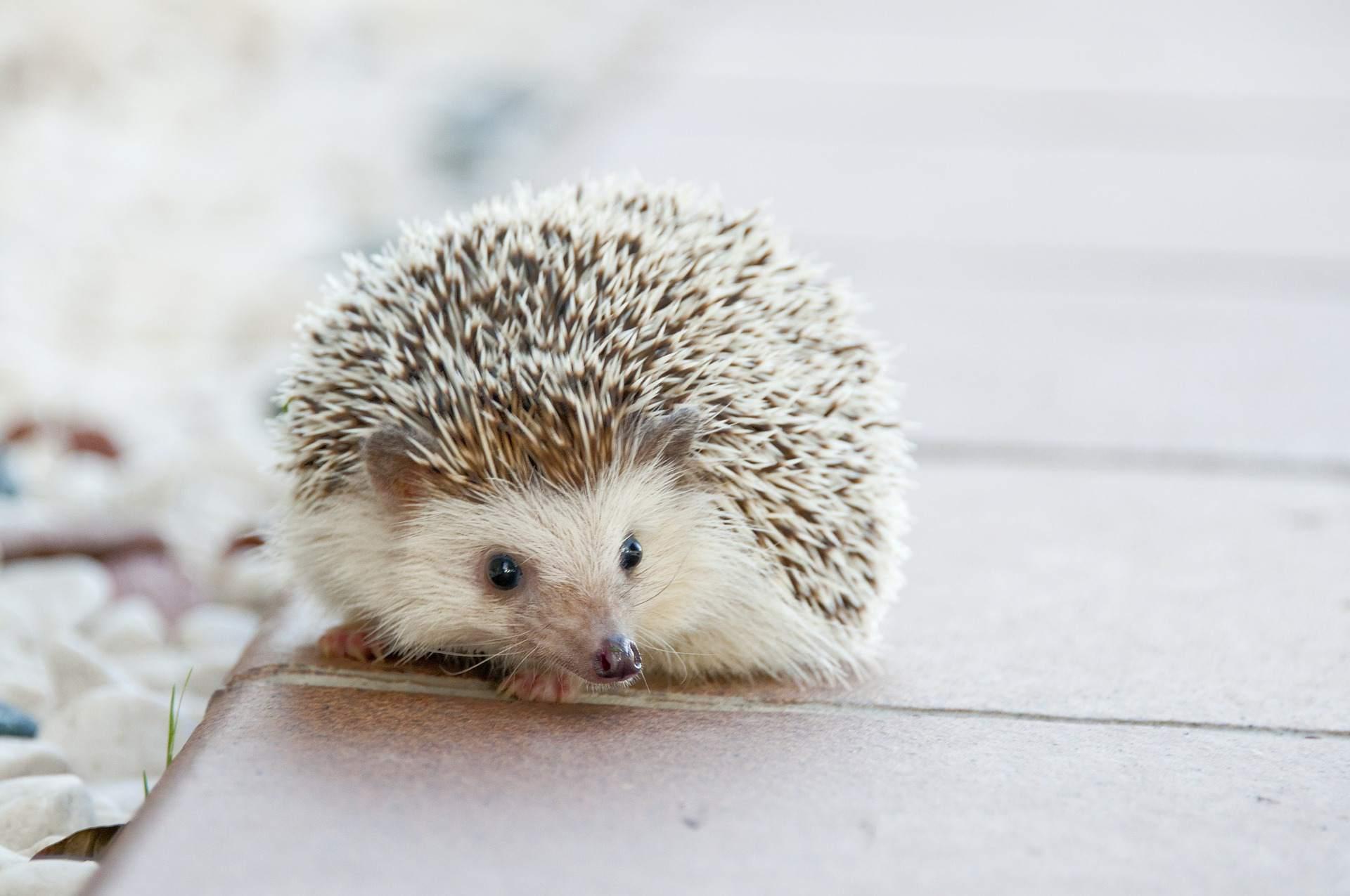 Hedgehog curled up on a brick walkway.