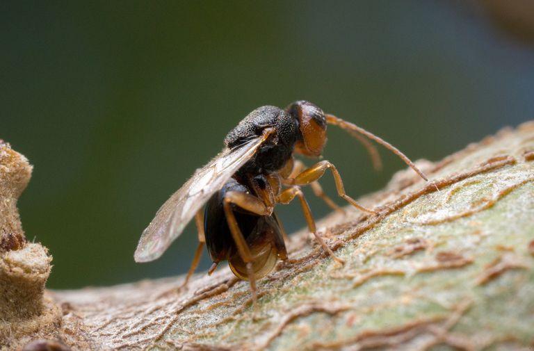 Gall wasp.
