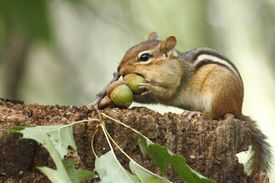 The chipmunk is a small, striped squirrel.