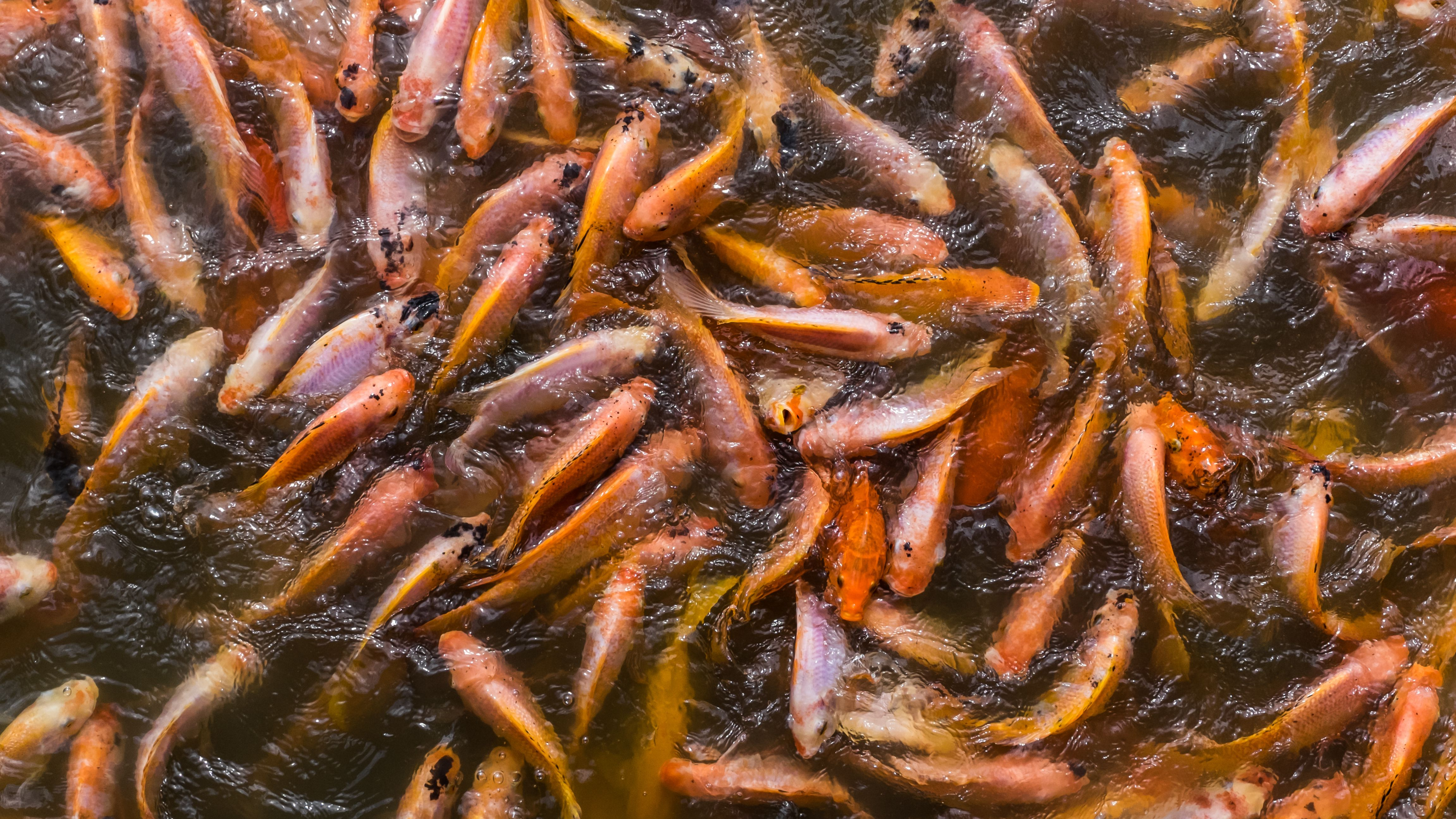 Tilapia added to the lake near Mexico City are one of the main threats to axolotl survival.