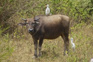 Cows and birds cooperate to increase survival