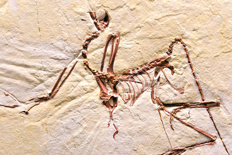 Una impresión de mármol de un fósil de compsognathus