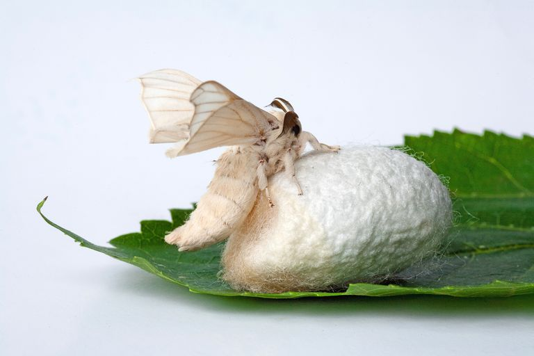 Image result for Silkworm moth