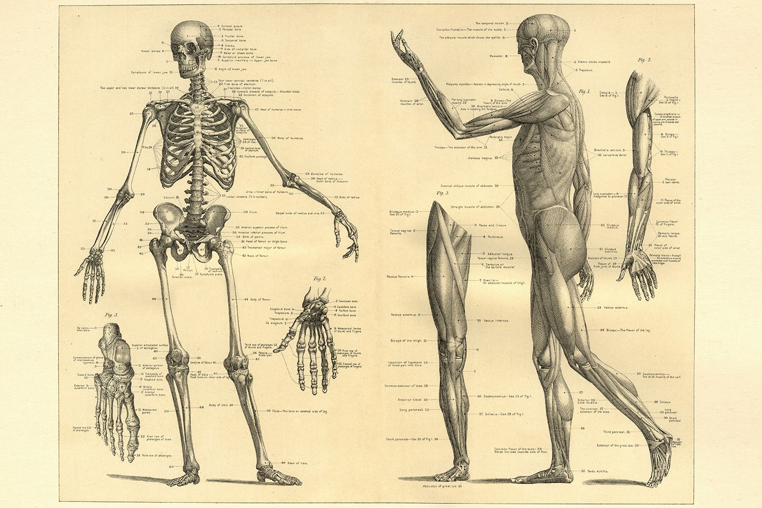 French Vocabulary Guide: Parts of the Body